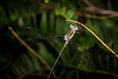 Photograph - Familiar Bluet by David Morefield