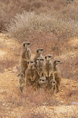 Studio Graphika Literature - Family meerkat in the wild by Patricia Hofmeester