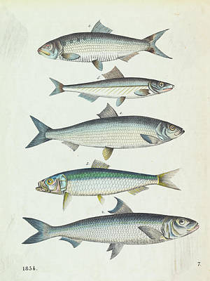Photograph - Family Of Herring by Bettmann
