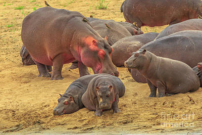 Photograph - Family Of Hippos by Benny Marty
