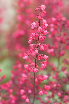 Photograph - Fancy-leaf Coral Bells by Jenny Rainbow