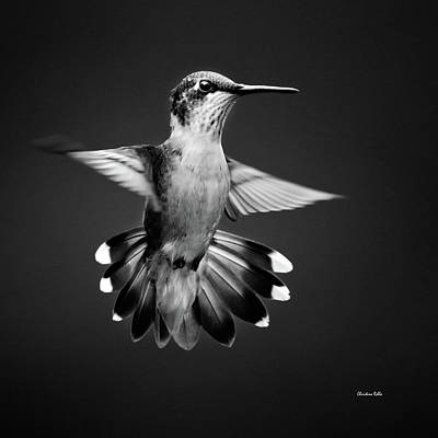 Recently Sold - Animals Royalty-Free and Rights-Managed Images - Fantail Hummingbird by Christina Rollo