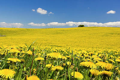 Photograph - Farm Field With Dandelions, Osterlen by Johner Images