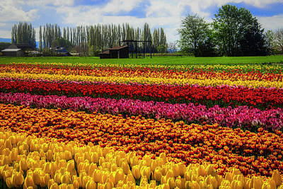 Photograph - Farming Tulips by Garry Gay