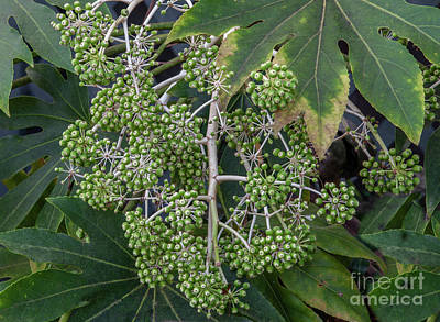 Photograph - Fatsia Japonica by Dale Powell