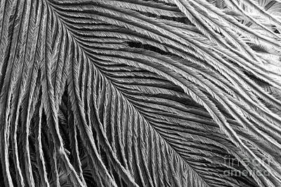 Photograph - Feather Detail Black And White by Sharon McConnell