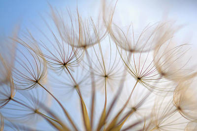 Salsify Wall Art - Photograph - Feather-like Seedhead Of Meadow Salsify by Cora Niele