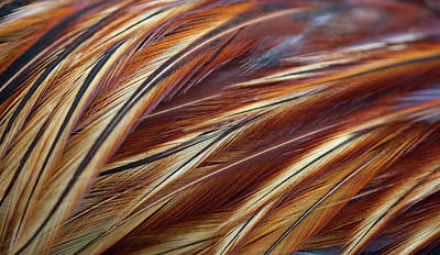 Photograph - Feathers Close-up On Rooster, Pattern by Nacivet