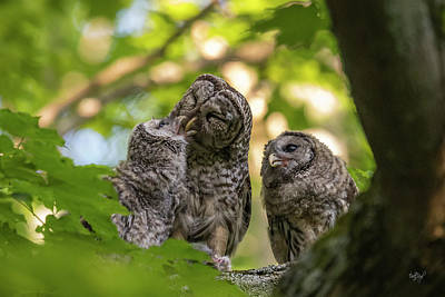 Royalty-Free and Rights-Managed Images - Feeding the Owlets by Everet Regal