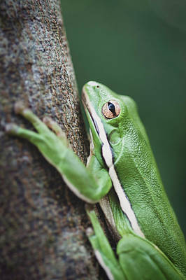 Photograph - Feeling Green - Tree Frog by Keith Smith