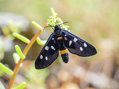 Photograph - Fegea - Amata phegea -Black insect with white spots and yellow details by Giovanni Bertagna
