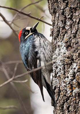 Photograph - Female Acorn Woodpecker by Loree Johnson