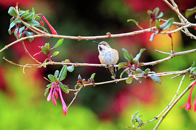 Photograph - Female Allen's Hummingbird In Honeysuckle Fuchsia by Lynn Bauer