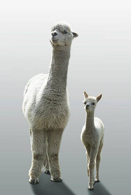 Photograph - Female Alpaca With Her One Month Old Cub by Buena Vista Images