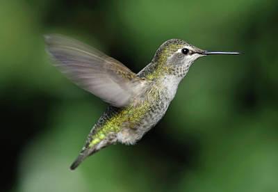 Annas Hummingbirds Wall Art - Photograph - Female Annas Hummingbird In Flight by Barbara Rich