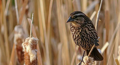 Photograph - Female Black Bird In The Bulrushes by Philip Rispin