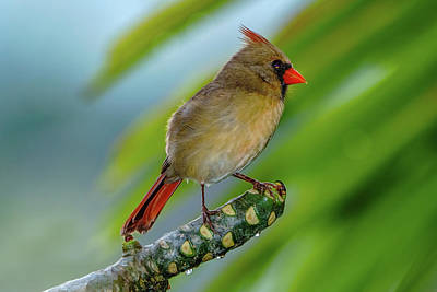 Photograph - Female Cardinal by John Bauer