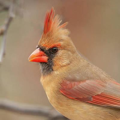 Photograph - Female Cardinal Portrait by Lara Ellis