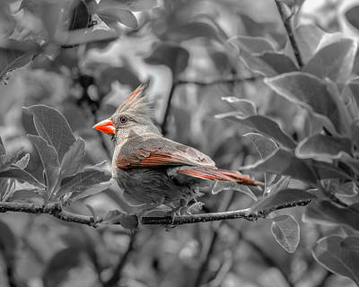 Photograph - Female Cardinal Selective Color by Keith Smith