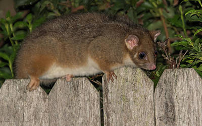 Photograph - Female Common Ringtail Possum by Merrillie Redden