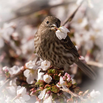 Photograph - Female House Finch With Flower Soft Square by Terry DeLuco