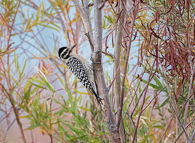 Photograph - Female Ladder Backed Woodpecker by Loree Johnson