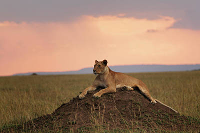 Photograph - Female Lion On Termite Mound At Sunset by Adam Jones
