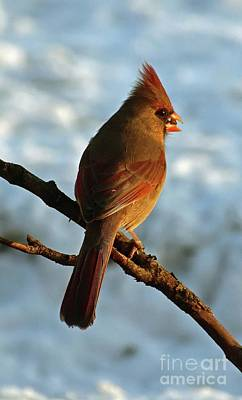Valentines Day - Female Northern Cardinal In Evening Light by Cindy Treger