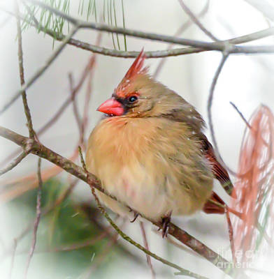 Photograph - Female Northern Cardinal - Round And Plump by Kerri Farley