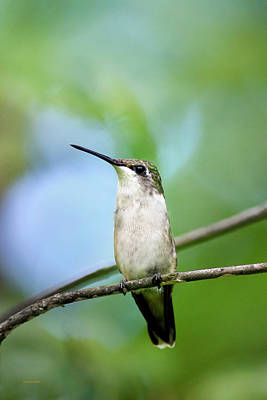 Photograph - Female Ruby Throated Hummingbird by Christina Rollo