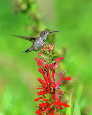 Photograph - Female Ruby-throated Hummingbird Dsb0316 by Gerry Gantt