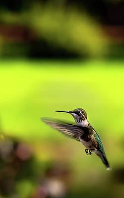 Photograph - Female Ruby Wings Forward by Onyonet  Photo Studios
