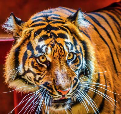 Photograph - Female Sumatran Tiger by Garry Gay