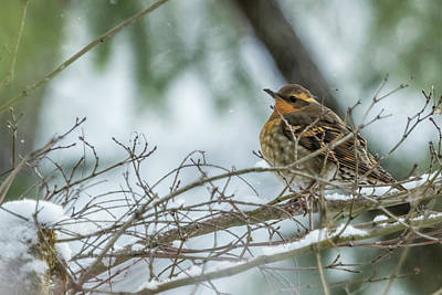 Photograph - Female Varied Thrush, No. 1 by Belinda Greb