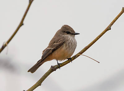 Photograph - Female Vermilion Flycatcher by Loree Johnson
