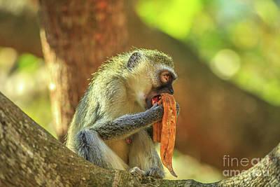 Photograph - Female Vervet Monkey by Benny Marty