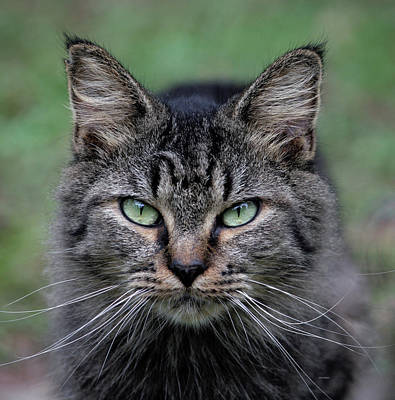 Photograph - Feral Cat by Cathy Harper