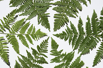 Photograph - Fern Leaves Forming Circle by Paul Taylor