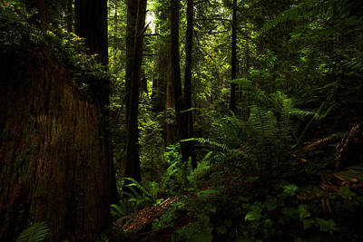 Photograph - Ferns Among The Redwoods by TL Mair