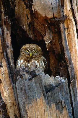 Pygmy Owl Wall Art - Photograph - Ferruginous Pygmy Owl Glaucidium by Art Wolfe