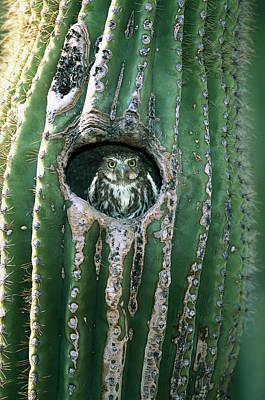 Altar Wall Art - Photograph - Ferruginous Pygmy Owl Glaucidium by Tom Vezo/ Minden Pictures