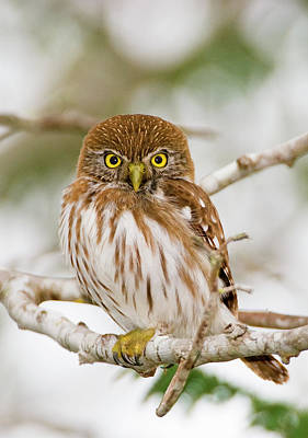 Bird Photograph - Ferruginous Pygmy-owl Glaucidium by Wayne Lynch