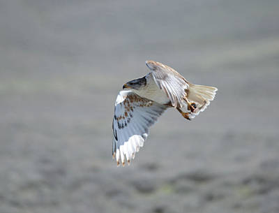 Travel - Ferrunginous Hawk in Flight by Whispering Peaks Photography