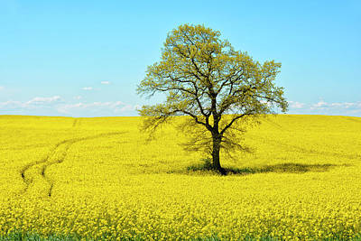 Royalty-Free and Rights-Managed Images - Field Of Bright Yellow Rape by Joachim G Pinkawa