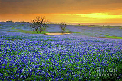 Florals Photos - Field of Dreams Texas Sunset - Texas Bluebonnet wildflowers landscape flowers  by Jon Holiday