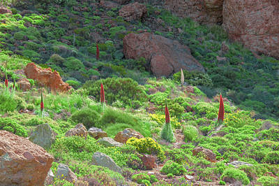 Photograph - Field Of Echium Wildpretii In The Teide National Park by Sun Travels
