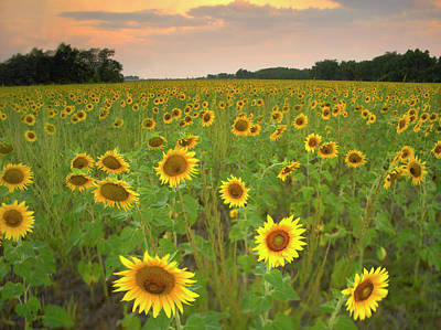 Photograph - Field Of Sunflowers, Flint Hills by Tim Fitzharris/ Minden Pictures