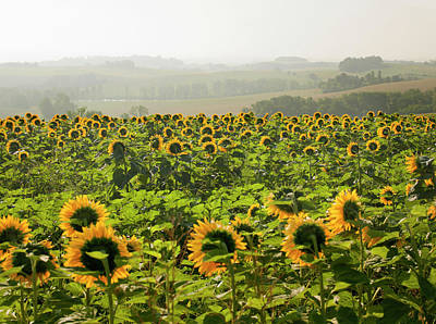 Photograph - Field Of Sunflowers by Philip Lee Harvey