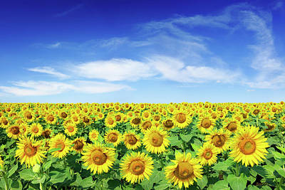 Photograph - Field Of Sunflowers Under A Blue Sky by Trout55