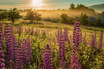 Photograph - Fields Of Lupine by Jeff Sinon